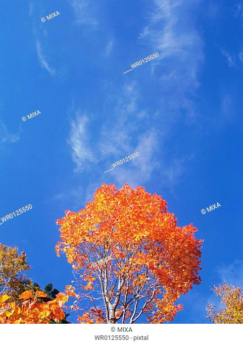 Silver birch and maple trees, Shiga Plateau, Nagano Prefecture, Japan