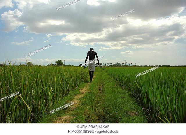 PADDY FIELDS IN KOONTHAKULAM NEAR TIRUNELVELI, TAMILNADU,INDIA