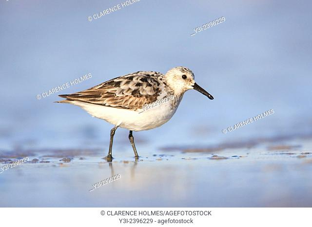A Sanderling (Calidris alba) wades in the surf at Nickerson Beach, Lido Beach, New York