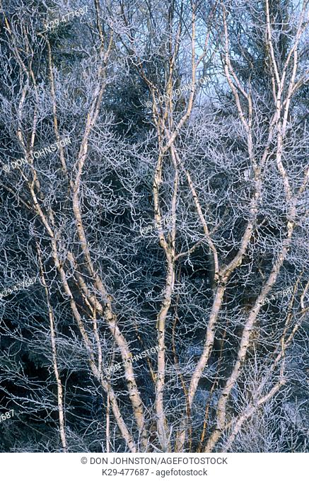 White birch (Betula papyrifera) frosted birch tree with multiple trunks. Lively. Ontario. Canada