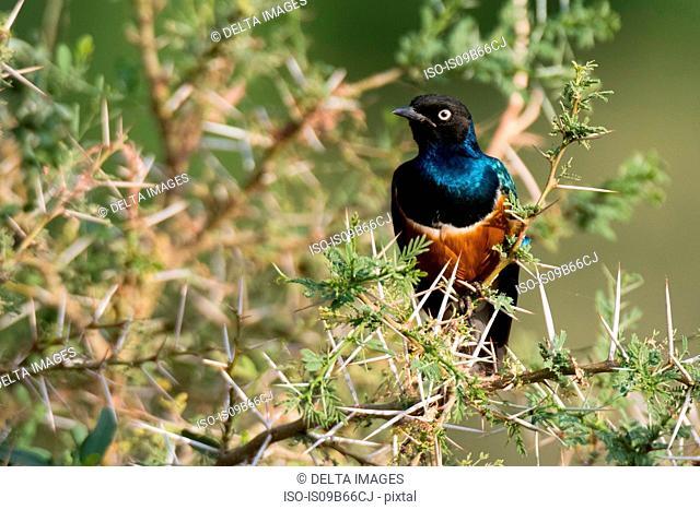 Superb starling (Lamprotornis superbus), Samburu National Reserve, Kenya, Africa