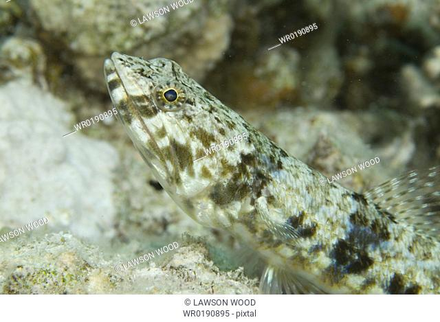 Sand Diver or Lizardfish Synodus variegatus, diagonal view of fish showing head and body marking clearly, Red Sea
