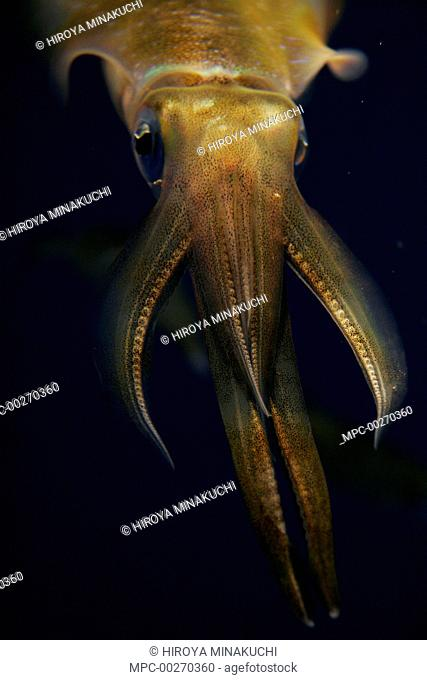 Bigfin Reef Squid (Sepioteuthis lessoniana) in school of same sized individuals, Japan
