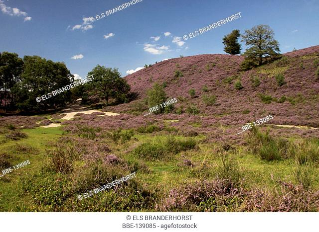 Hills with blooming Heather, an impression of National Park Veluwezoom