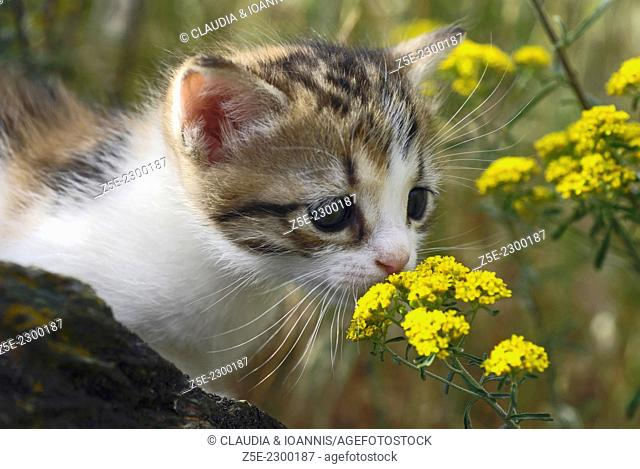Four weeks old kitten sniffing at flower in the garden