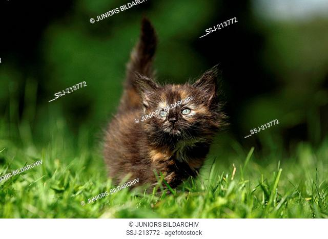 Norwegian Forest Cat. Kitten (6 weeks old) walking on a meadow. Germany