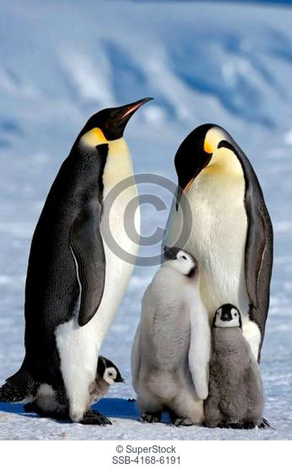 ANTARCTICA, WEDDELL SEA, SNOW HILL ISLAND, EMPEROR PENGUIN COLONY Aptenodytes forsteri, ADULTS WITH CHICKS