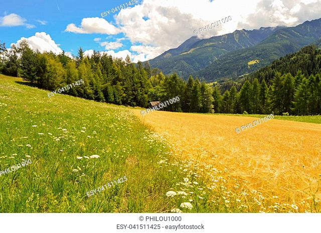 Contrast between a daisy meadow and a wheat field in front of the Tyrol mountains in Austria