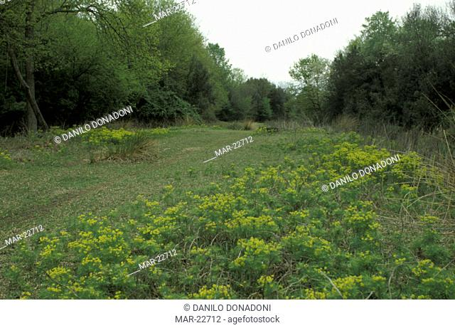 glade and euphorbia cyparissias flowers, delta po mesola, italy