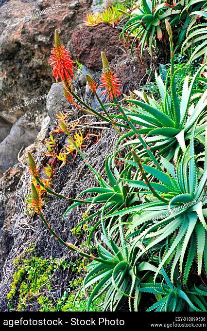Aloe Vera flowering - healing plant - detail