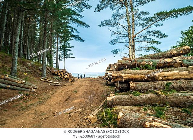 Three people walking through a timber plntation during a tree felling season. Cape Town, South Africa