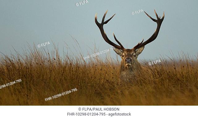 Red Deer (Cervus elaphus) stag, resting amongst rushes on moorland, during rutting season, Derbyshire, England, October