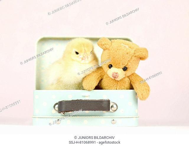 Domestic chicken, Brahma. Chick (1 day old) and Teddy bear in a little suitcase. Studio picture. Germany