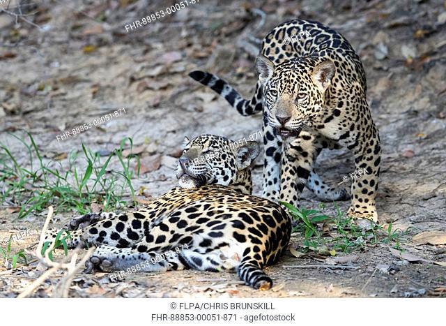 Jaguar (Panthera onca palustris) juveniles, resting on riverbank, Corixinho, Mato Grosso, Brazil, September