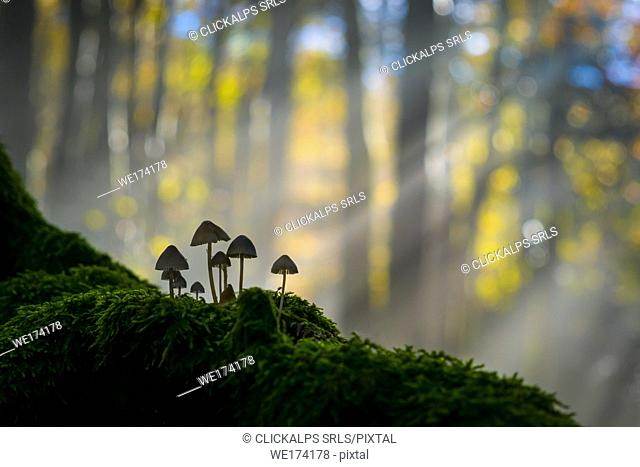 Foreste Casentinesi National Park, Badia Prataglia, Tuscany, Italy, Europe. Mushrooms on trunk covered with moss