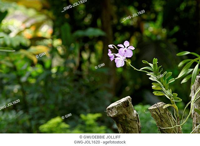 PALE PINK VANDA ORCHID GROWING ON A LOG
