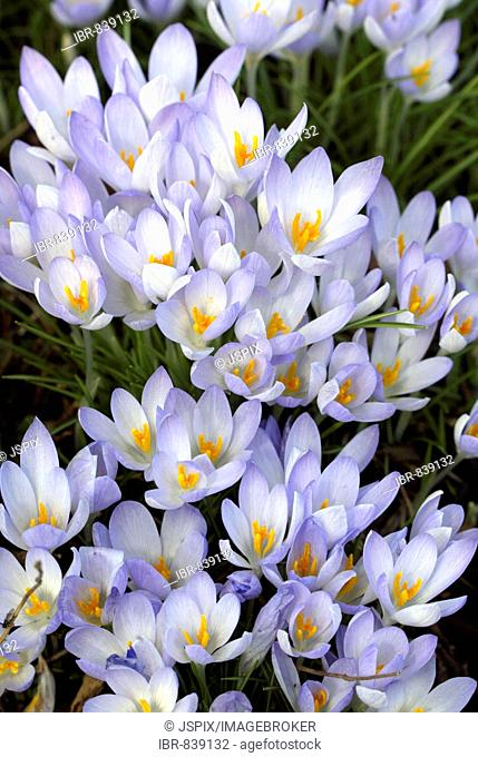 Crocus (Crocus), blossoms