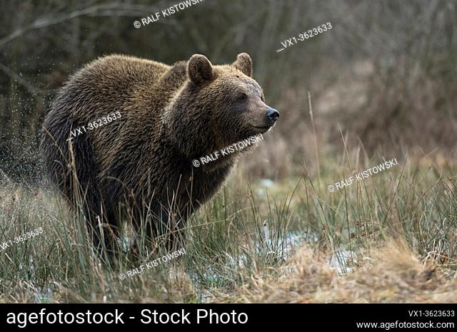 European Brown Bear / Braunbaer ( Ursus arctos ), playful young, running fast through a wet meadow, a swamp, bog, marshland, wetland, Europe