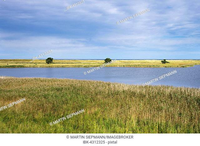 Coastal landscape, reeds, Baltic Sea, Darßer Ort near Prerow, Darß, Fischland-Darß-Zingst, Western Pomerania Lagoon Area National Park