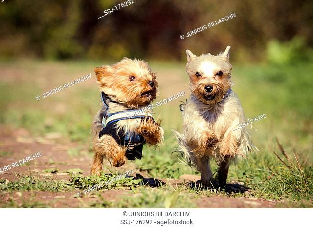 Yorkshire Terrier and an Australian Silky Terrier running next to each other