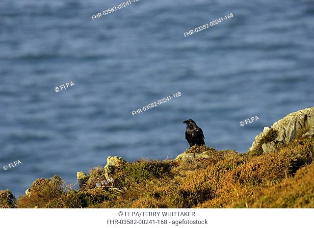 Common Raven Corvus corax adult in habitat, South Stack RSPB Reserve, Anglesey, Wales