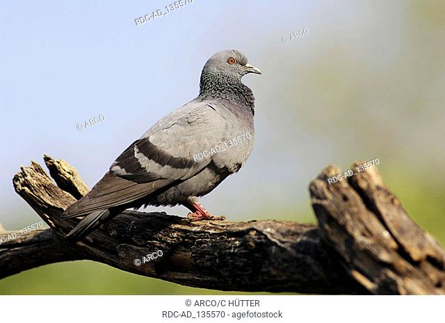 Rock Dove Rajasthan India Columba livia side