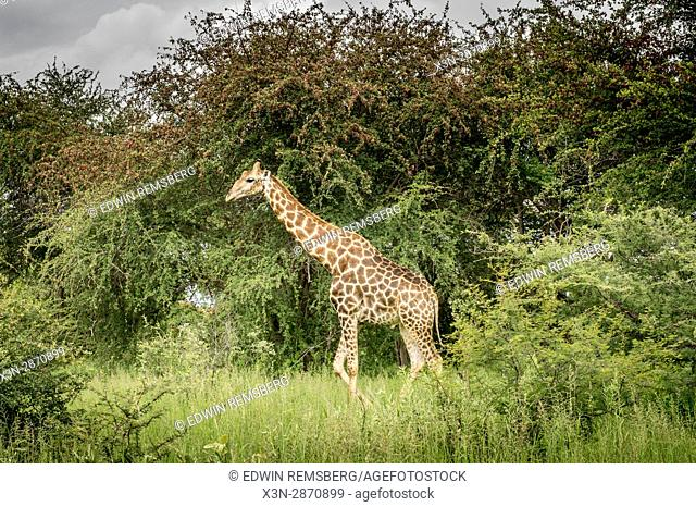 An angolan giraffe moves through the open grassland at Etosha National Park, located in Namibia, Africa