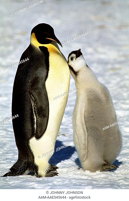 Emperor Penguin with Chick (Aptenodytes forsteri), Atka Bay, Weddell Sea, Antarctica