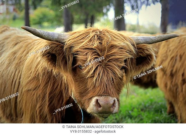 Close up portrait of a young Highland bull on field among herd of Highland cattle