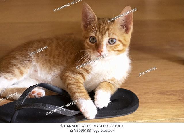 Orange kitten laying on a summer flipflop