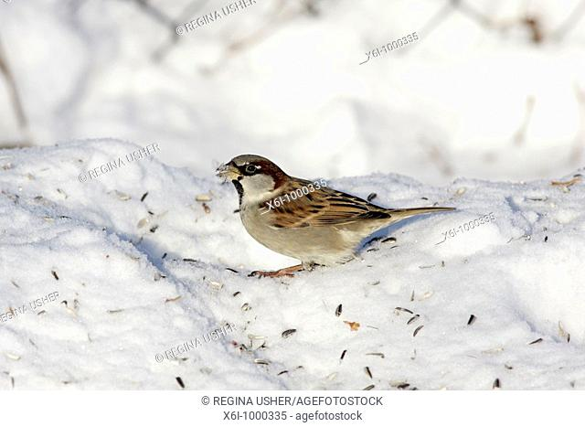 House Sparrow  Passser domesticus, male feeding on sunflower seeds in garden, winter, Germany