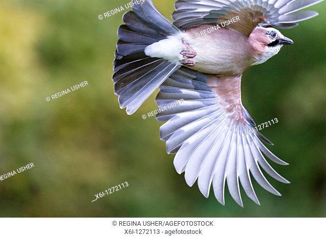 Jay Garrulus glandarius, in flight, Lower Saxony, Germany