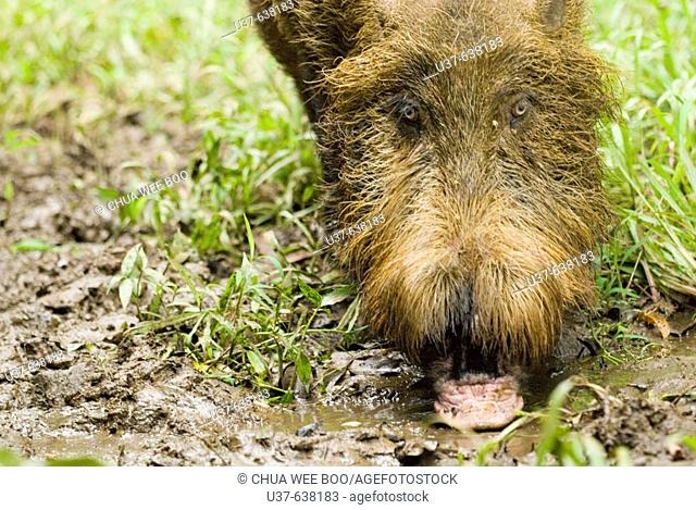 Wild boar searching for earth worms