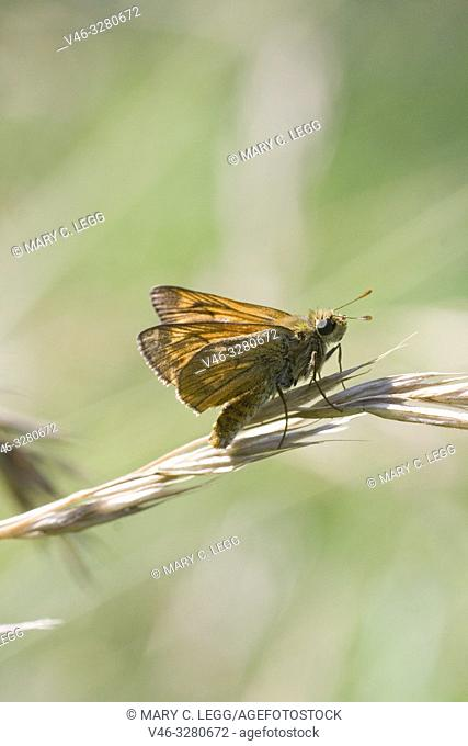 Lulworth Skipper, Thymelicus acteon. Small orange skipper that may be confused with the Large Skipper, Ochlodes sylvanus
