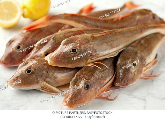 Stack of fresh red gurnard fishes