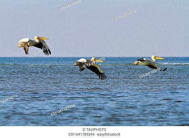 three great white pelicans flying over sea ( Pelecanus onocrotalus ), wlid birds from Danube Delta, Romania