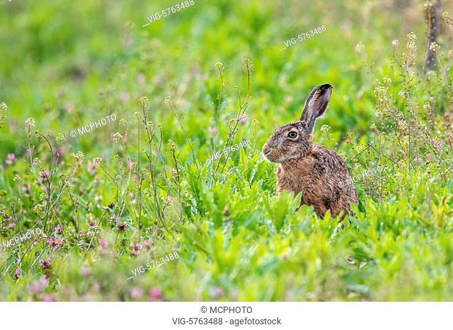 Feldhase (Lepus europaeus) - 14/05/2015