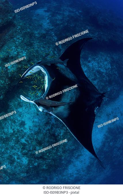Giant manta being cleaned of parasites by small yellow labrid fish, Cancun, Mexico
