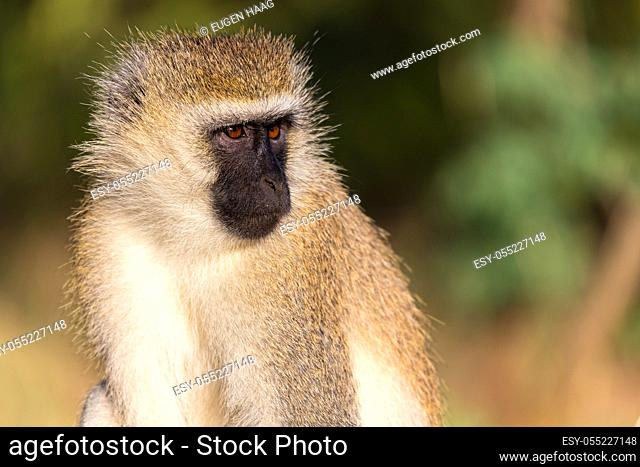 A portrait of a monkey in the savannah of Kenya