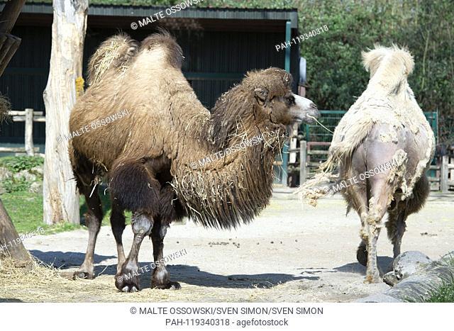 Camel, Camelus ferus, Zoom Gelsenkirchen opens turtle garden., 11.04.2019 | usage worldwide. - Gelsenkirchen/Deutschland