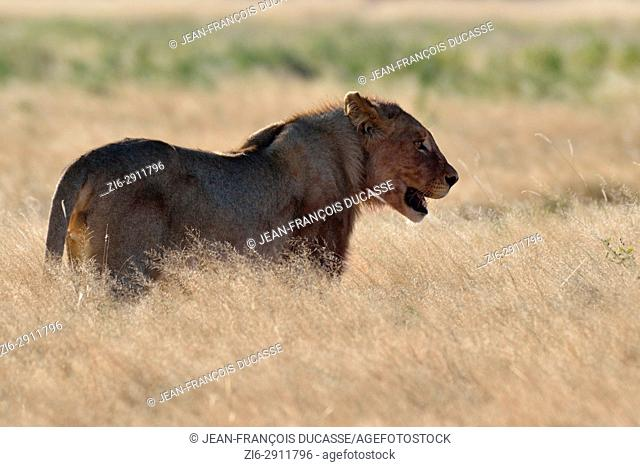 African lion (Panthera leo), young male in dry grass, Etosha National Park, Namibia, Africa