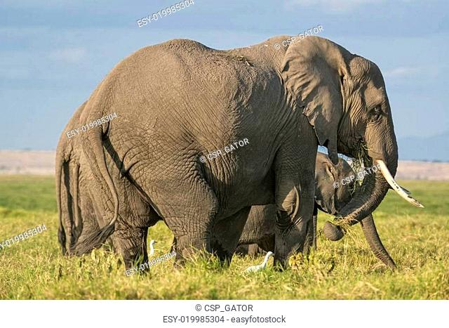 Group of African Bush Elephants