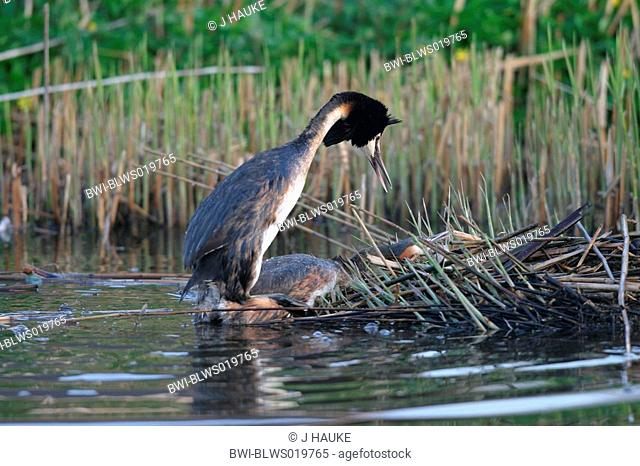 great crested grebe Podiceps cristatus, courting, copulation, Netherlands