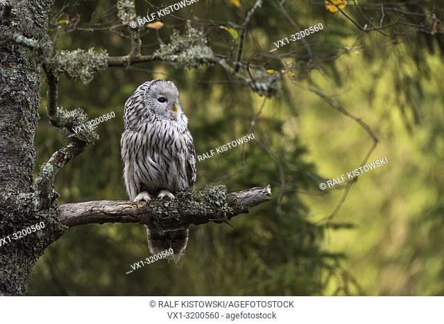 Ural Owl (Strix uralensis) perching in an old lichened tree with nice sunlight flares in the background.
