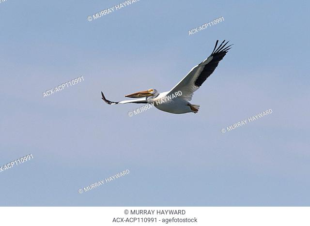 American White Pelician (Pelecanus erythrorhynchos) Caught in flight, with wings, straight out, White pelican flies against blue sky