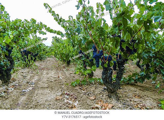 Vineyard, Laguardia area, Rioja Alavesa, Basque Country, Spain