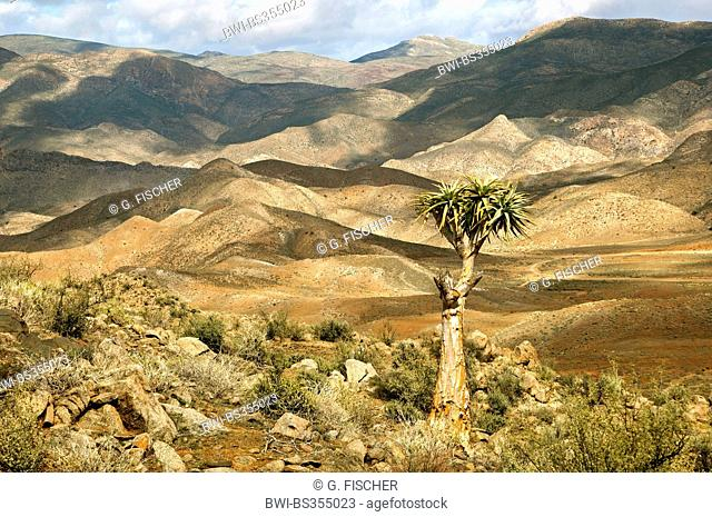 Giant Quiver Tree, Bastard quiver tree (Aloe pillansi), Mountain scenery with Giant Quiver Tree, South Africa, Northern Cape, Richtersveld National Park