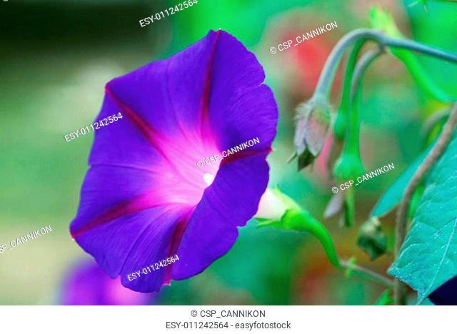 Heavenly Blue Morning Glory Ipomea Flower