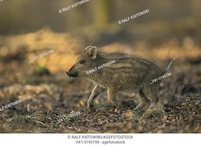 Wild Boar (Sus scrofa), striped shoat, runs fast through a mixed forest, full of joy, low point of view