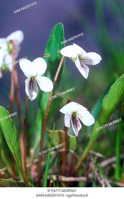 Primrose-leaved Violet (Viola primulifolia) in Bog, Pine Barrens, New Jersey